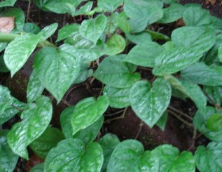 Betel Leaf creeper